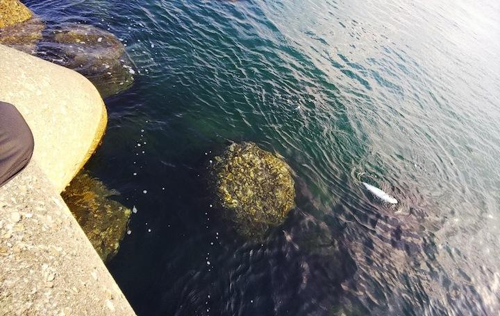 堤防から自作ジグでヒラメを狙う、開始後すぐにハマチが掛かる