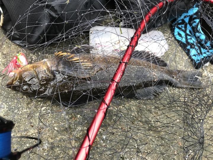 スプーンで釣ったアイナメ