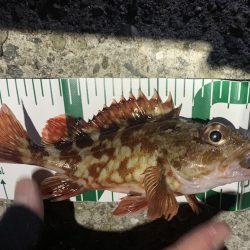 アーミーシャッドのリフト&フォールが魚たちに大人気でした★がまかつLUXXE宵姫アジング・メバリングレポート