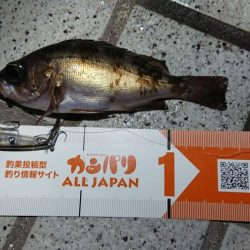 プラッキングメバル in 広島! ナダ(nadar)コリーインプレに岸田様が挑戦!