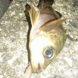 木材港南でちびメバル数釣り