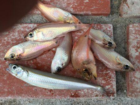 コサバ多数、豆アジ8匹、赤雑魚7匹、藤五郎イワシ1匹