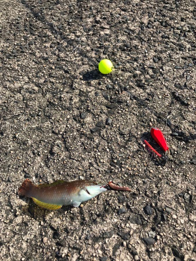 がまかつ うきまろ胴突きで多彩な魚を狙う!