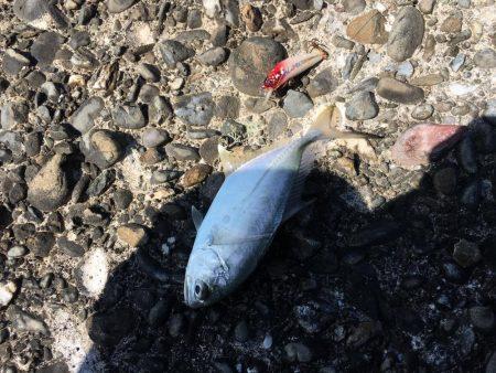 ブリが釣れ始めてます!ほとんどメジロサイズかな?