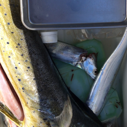 太刀魚 シイラ メッキ ウルトラCでシイラが釣れた