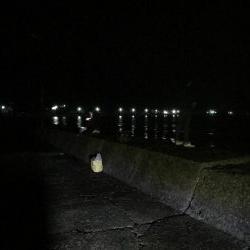 夜のアオリイカ