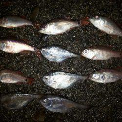 夜釣りでアジ!!!
