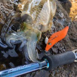 鷹島秋の数釣りエギング