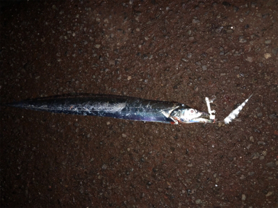 指5本太刀魚を隣の人が…。