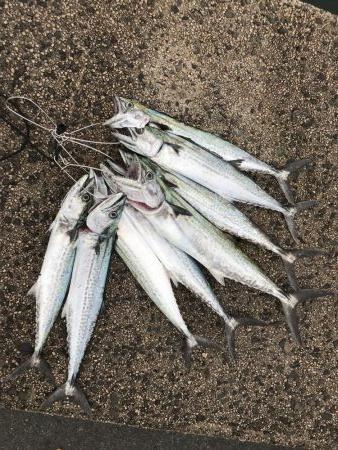 サゴシは安定の爆釣
