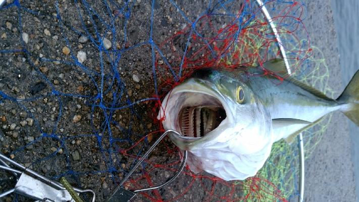 ぶりと太刀魚とサワラ
