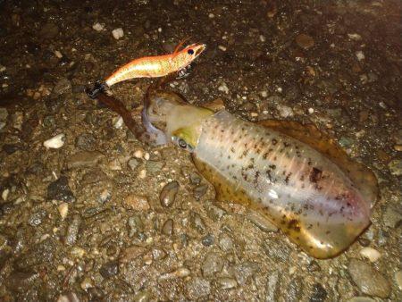 トンカツサイズのアオリイカが釣れている