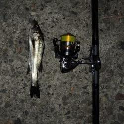 晩秋のエビ撒き釣り メバルがほとんど
