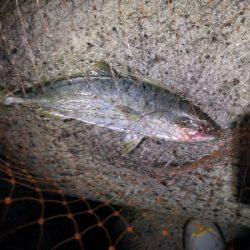 太刀魚とツバス