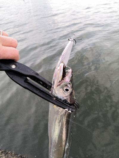 太刀魚2匹