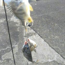 団子釣りでクロダイ狙い