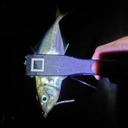 イカは諦めアジを釣る!