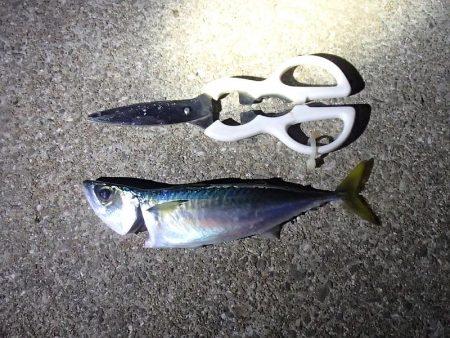 ノマセ釣り&サビキ釣り