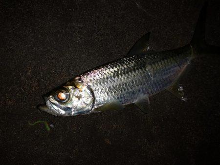 ナイトで古代魚 ターポン