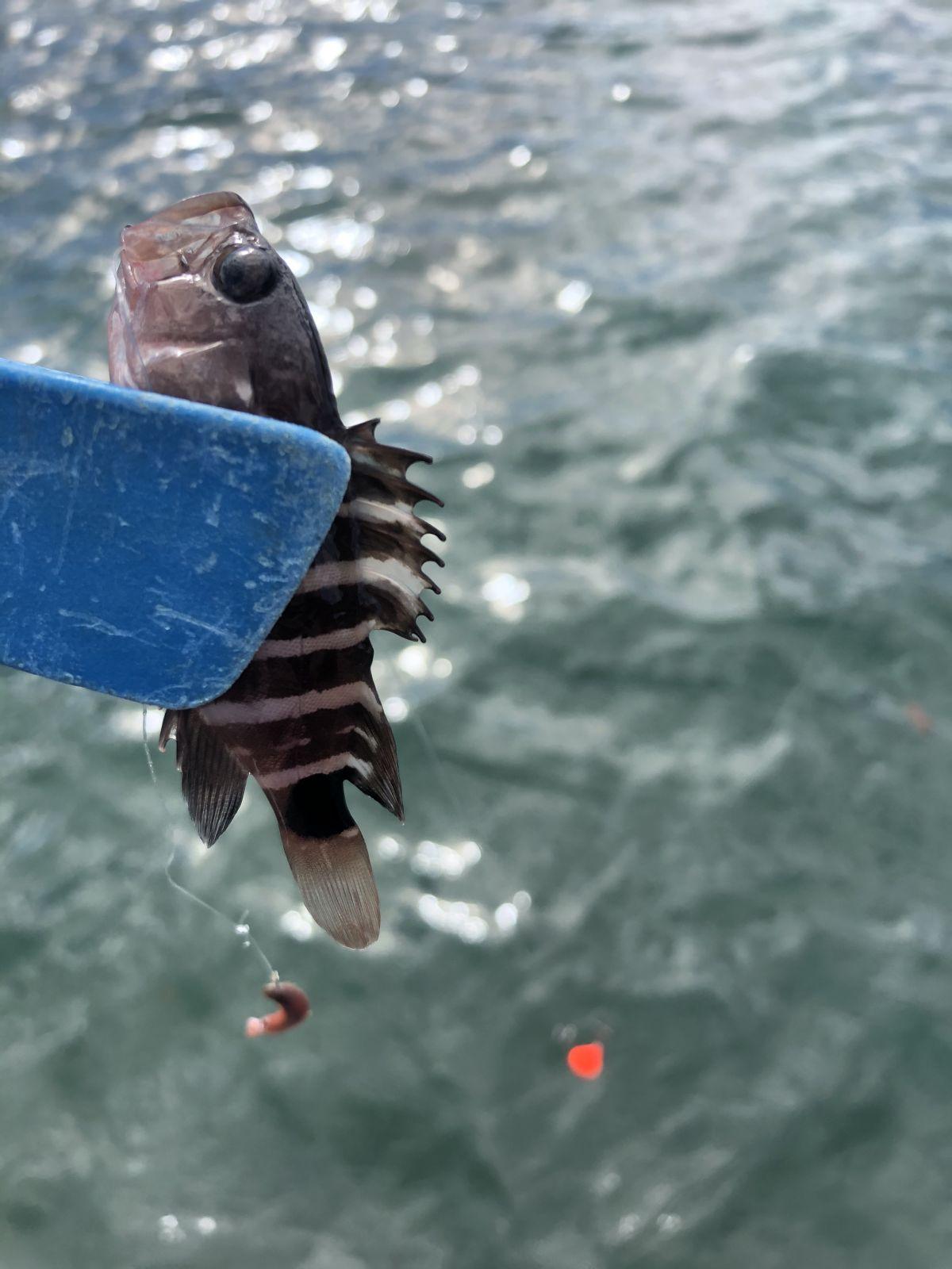 ターゲットは多魚種【がまかつちょい投げ インプレッション】