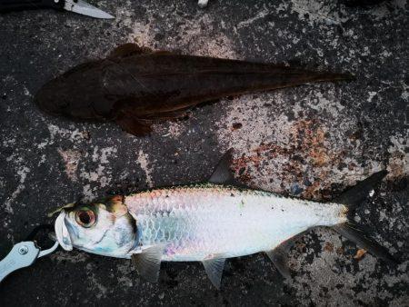 今日はマゴチも釣れました