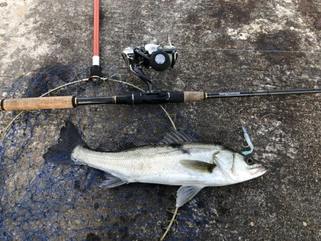 コウイカ釣りたい
