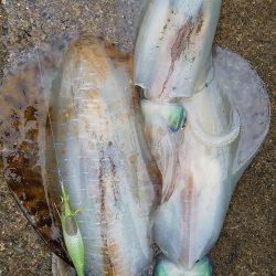 アオリイカ満足の釣果