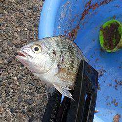 鯛の赤ちゃんらしき魚?