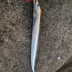 太刀魚1本のみ