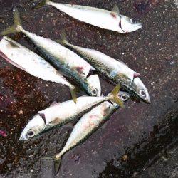 沖堤ショアジギングでメジロ、ハマチ、タチウオ