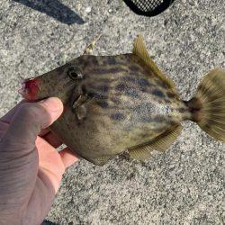 アジ&カワハギ&マハタ&太刀魚の生態調査