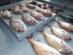 タイラバ船の海豚 釣果