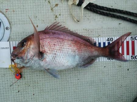 真鯛釣れました