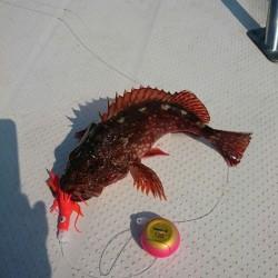 タイ釣りたかった。